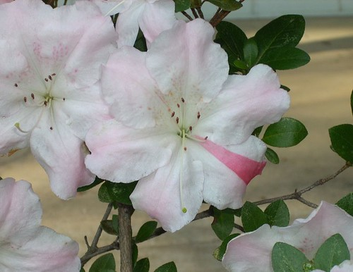 Striped Azalea