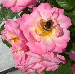 Tea rose and bee