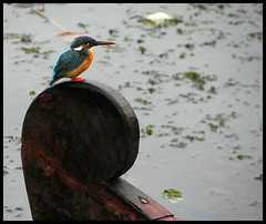 KingFisher (Midhun Manmadhan) Tags: bird ride kerala kingfisher chariot canonpowershots3is thattekkad