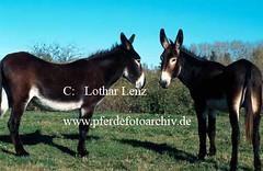 Katalanischer Riesenesel, Equus asinus f. asinus, Catalan donkey (Lothar Lenz) Tags: esel katalanischerriesenesel