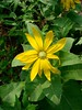 woolly mule's ear - wyethia mollis