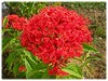 Ixora casei 'Super King' (Jungle Flame/Geranium, Flame of the Woods, Needle Flower)