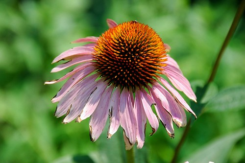 Echinacea, North Pacific Playground