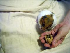 20080709-09 (kayako_) Tags: hamster pon