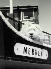 captain boy (dewollewei) Tags: old bw chien english dogs cane sheepdog perro hund hunde bobtail oes oldenglishsheepdog sheepdogs oldenglishsheepdogs thelittledoglaughed viejopastoringles   oldenglishsheepdogsworldwide