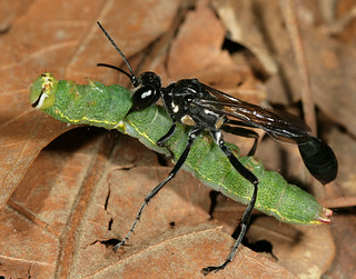 Thread-waisted wasp with prey