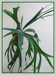 Our potted 2-year old Platycerium bifurcatum. Simply love their antler-like fronds