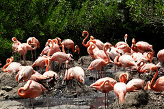 Flamingoes! (Berd) Tags: bird zoo flamingoe