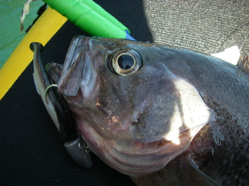 Black Rockfish!