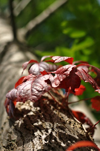 NiftyFifty: Red Leaves (by john_brainard)