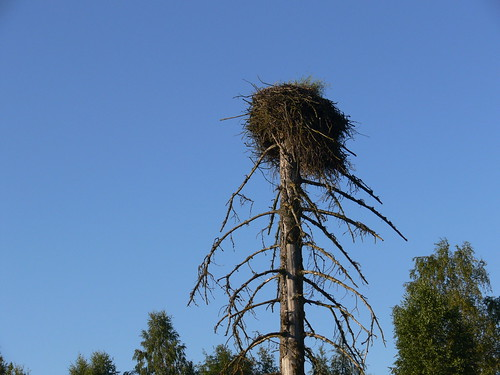 Stork nest in Latvia