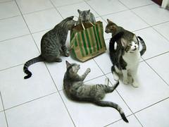 What's inside? (Chrischang) Tags: pet animal cat nana kaka 2008 貓 zaizai pawpaw banban 20080906 queennana