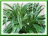 Chlorophytum laxum 'Bichetii' (Bichetii Grass, False Lily Turf, Siam Lily, Wheat Plant, Dwarf/Variegated Spider Plant)