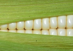 'Corny' grin (*__*) (nirsha) Tags: white green corn african fresh glossy grin uganda corny maize corncob ugandan artcafe dentures mywinners colorphotoaward betterthangood globalworldawards artcafedomidoexhibitionscomein