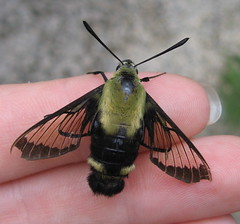 snowberry clearwing moth, Hemaris diffinis (poppy2323) Tags: nature sphinx insect hummingbird wildlife moth explore sphingidae snowberry hemarisdiffinis beemimic clearwing hemaris clearwings thysbe doesntsting