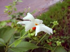 Shiuli flower - Nyctanthes arbor-tristis (H G M) Tags: durgapuja shefali parijat shiuli nyctanthesarbortristis astoundingimage qualitypixels auniverseofflowers hgmukhopadhyay