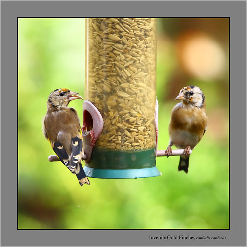 Juvenile Gold Finches