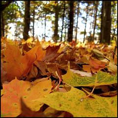 Dor comme l'rable ( CHRISTIAN ) Tags: autumn orange fall nature leaves forest automne season square maple quebec bokeh qubec fort flou feuilles rable carr dor frelighsburg abigfave aplusphoto ultimateshot bestofr