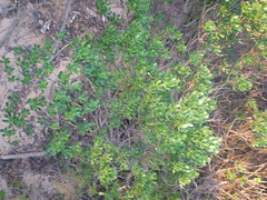 Plant 2 (cobalt.penguin) Tags: beach dunes sydney peninsula avalon barranjoey