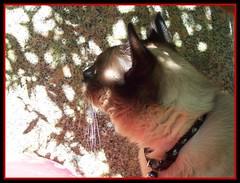 Jazz in red (Gabbcan) Tags: cat kitten kat chat siamese gatos gato tonkinese siames gatto katzen gatti gatinho  siamesische jazzthecat blueeyes gatoseneljardin ojosazules siamesibeautifulcat kotkatt gardencats catsandflowersoutdoorcat