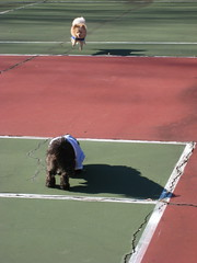 IMG_9209 (kelaltieri) Tags: bear friends pets playing fun pomeranian tenniscourt playdate havanese rozie