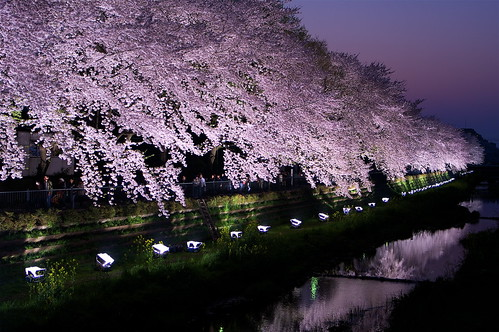 桜ライトアップ#6