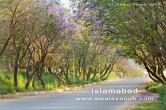 A road to remember (Awais Yaqub) Tags: road pakistan macro tree nature colors dusk path scene 100mm 28 usm warmlight morningwalk islamabad pims canoneos400d flowertrees beautifulislamabad awaisyaqub floweryroad colorfulscape
