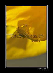 10778 (www.ted-photos.ch) Tags: animal jaune animaux araigne faune arachnide misumena vatia