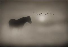 Sepia Dreams (adrians_art) Tags: winter horses mist monochrome field birds fog sunrise early flock flight silhouettes equine darksepia