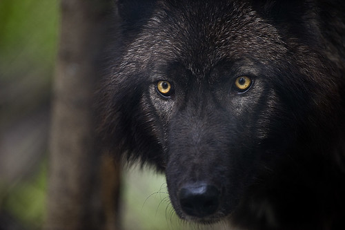 Wolf 6 by Dan Newcomb Photography