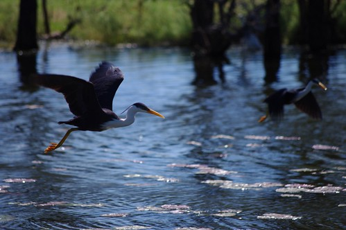 Pied Heron, Bird Watching - Parry Lagoons Nature Reserve - Kimberleys, Western Australia