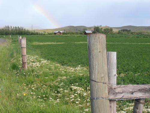 rainbow and alfalfa