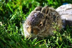[フリー画像] 動物, 哺乳類, 兎・ウサギ, 201106270500
