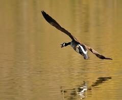 Banking and Honking (ozoni11) Tags: goose geese bird birds canadagoose canadageese banking honking animal animals animaladdiction wetland wetlands lake lakes lakekittamaqundi columbiamaryland nikon d300 ozoni11 michaeloberman birdwatcher