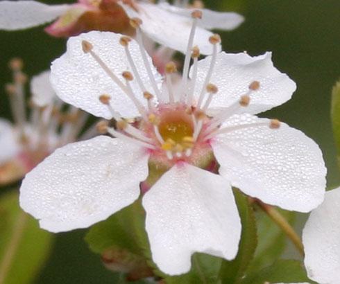 dewyflower