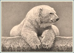 'Portrait of a Polar Bear' - Polar Bear - Fine Art Drawings  www.drawntonature.co.uk (kjhayler) Tags: pictures bear wild portrait blackandwhite white canada ice monochrome animal animals pencil portraits zoo photo singapore photos drawing bears picture drawings naturalhistory arctic polarbear photographs teddybear wildanimal polar teddies polarbears tundra icebear teddybears arcticwildlife teddys animalart pencildrawing wildanimals singaporezoo endangeredspecies animalprints whitebear icebears pencildrawings wildlifeimages drawingpictures animalpictures wildlifeart wildlifephotography wildlifephotos animalphotos animaldrawings wildlifeartists naturepictures whitebears northamericanwildlife canadianwildlife bearpicture bearphoto bearphotos bearportrait wildlifeportraits beardrawing wildpictures bearpictures animalspictures openedition wildlifeartist wildlifedrawings drawingphotographs kevinhayler picturesofbears beardrawings bearportraits photosofbears