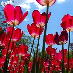 342.183 red äh tulips (Werner Schnell (1.stream)) Tags: red nikon tulips tulip siegen werner ws schnell themoulinrouge abigfave platinumphoto megashot schlospark wernerschnell