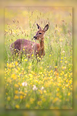 Coming Home.. (hvhe1) Tags: nature animal bravo buttercup wildlife meadow deer roedeer interestingness11 themoulinrouge naturesfinest firstquality specanimal animalkingdomelite hvhe1 hennievanheerden infinestyle megashot