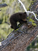 """""""It was so much easier climbing UP this tree, and now it's so far down!"""" (Jim Scarff) Tags: blackbear"""