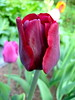 lovely tulip