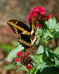 Garden Splendor (MettaMomma) Tags: red flower macro green nature beautiful beauty closeup fauna butterfly bug garden georgia insect flora blossom bonito belle lovely mariposa swallowtail swallowtailbutterfly papillion butterflygarden loveliness masterphotos boceh mywinners birdsongnaturecenter goldstaraward