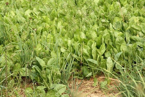 Nice stand of chicory