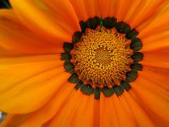 IMG_0619 (roberke) Tags: flower macro canon garden tuin bloem g9 flowerscolors qualitypixels auniverseofflowers