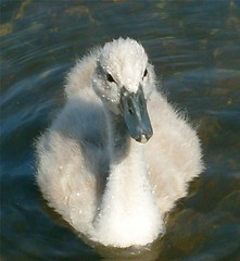 Young Mute (♥ ♫ * Mary * ♫ ♥ •٠·˙) Tags: uk bird nature water wildlife cygnet mute