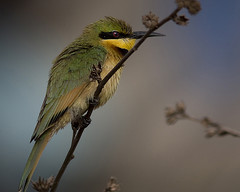 Abelharuco-dourado / Little bee-eater (Antnio Guerra) Tags: nature birds natureza aves digiscoping soe thegambia littlebeeeater meropspusillus avianexcellence goldwildlife