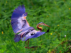 Purple Heron (Rey Sta. Ana) Tags: wild bird heron birds photography bay ana wildlife philippines ducks rail kites manila rey birdsinflight subic coron eagles waders avian sta waterbirds bif palawan sunbird philippine wildbirds bestshots ternate mantarey coucals candaba staana avianphotography philippinebirds reysa bestimages philippinebirdphotography reystaana
