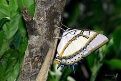 080705   () Polyura eudamippus formosana (Rothschild, 1899) (Bettaman) Tags: butterfly taiwan taipei   subtropical  nymphalidae sindian       shikanshuei polyuraeudamippusformosanarothschild1899