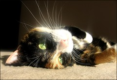 Love Of The Sun (Andromeda Honds) Tags: sun cali cat nose eyes kitten feline close kitty sunny whiskers calico bestofcats