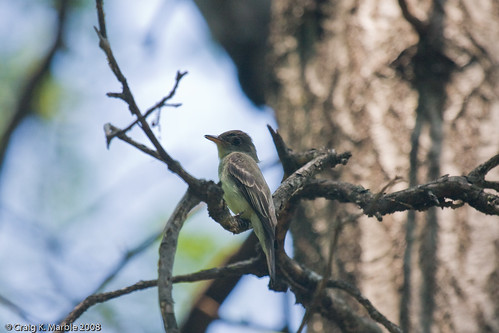 Eastern Wood Pewee (2 of 2)