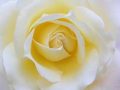 soft world (✿ Graça Vargas ✿) Tags: flower macro rose explore excellence interestingness433 i500 graçavargas frommymom´sgarden ©2008graçavargasallrightsreserved 79135070410